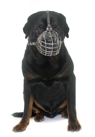muzzle: rottweiler and muzzle in front of white background Stock Photo