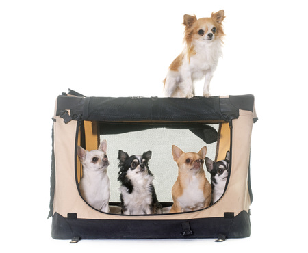 chihuahuas in transport kennel in front of white background
