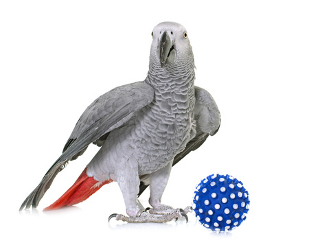 african grey parrot: African grey parrot in front of white background