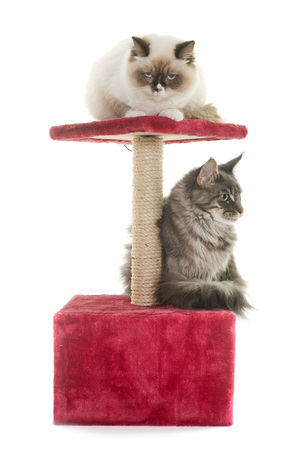 cats on scratching post in front of white background