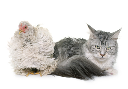 bantam hen: curly pekin chicken and cat  in front of white background