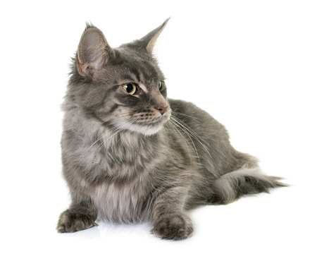 white cats: maine coon cat in front of white background Stock Photo