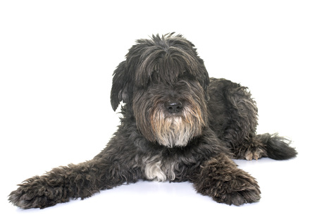 pyrenean: old pyrenean shepherd in front of white background