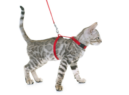 bengal kitten and harness in front of white background