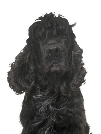 hunting cocker spaniel: black american cocker in front of white background