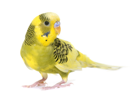 fledgling: young budgerigar in front of white background Stock Photo