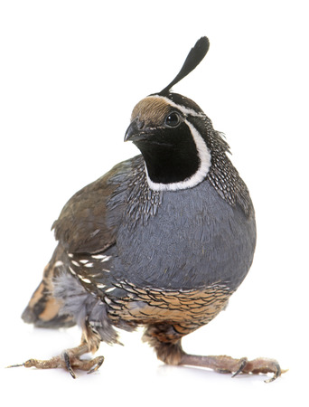 California quail in front of white background Zdjęcie Seryjne