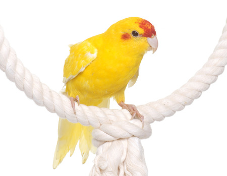 perico: Red-fronted Kakariki parakeet in front of white background