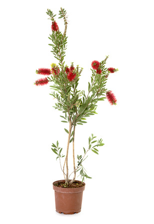 Callistemon in pot in front of white background