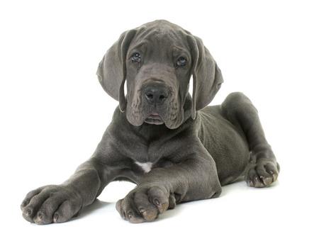 cachorro de gran danés delante de fondo blanco Foto de archivo