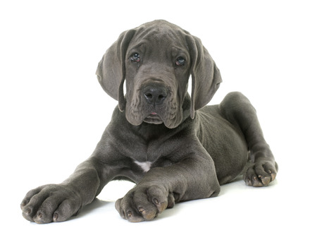 puppy great dane in front of white background Stock Photo - 65550483