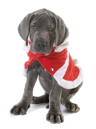 dressed puppy great dane in front of white background