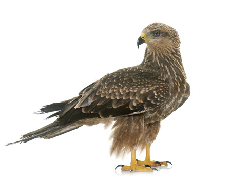 zopilote: Common buzzard in front of white background