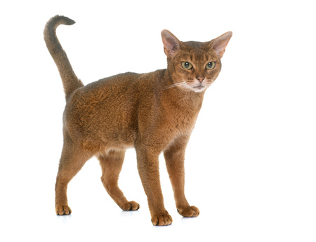 abyssinian cat: Abyssinian cat in front of white background