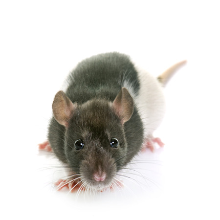 black and white rat in front of white background