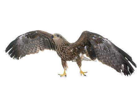 zopilote: Halcón común delante de fondo blanco