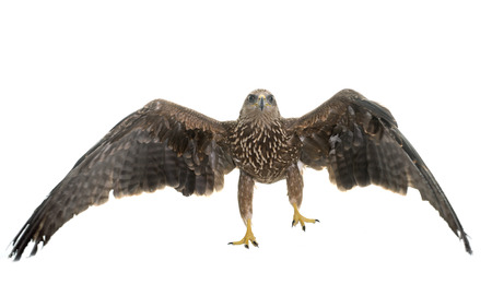 zopilote: Common buzzard in front of white background