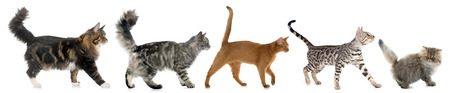large group of animals: five walking cats in front of white background