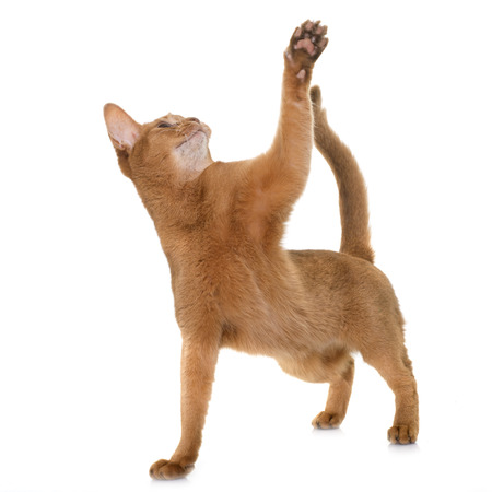 white cat: Abyssinian cat in front of white background