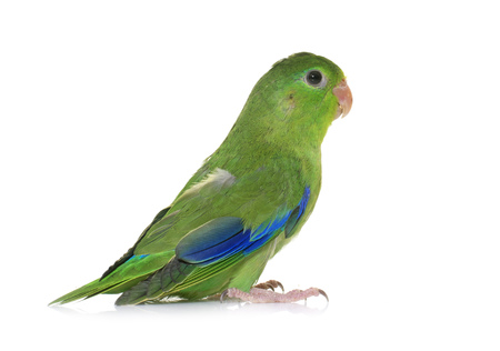 male animal: Pacific parrotlet in front of white background