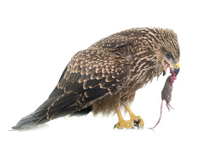 bird eating raptors: Common buzzard eating a mouse in front of white background