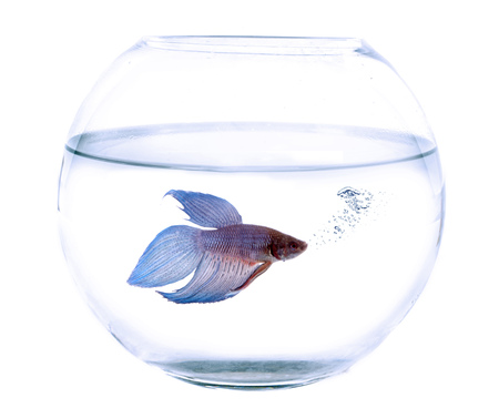 betta splendens: Siamese fighting fish in  fishbowl in front of white background