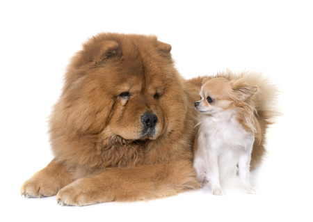 long hair chihuahua: chow chow dog and chihuahua in front of white background