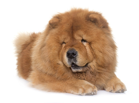 chow chow dog in front of white background Stock Photo