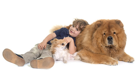 long hair chihuahua: chow chow, chihuahua and little boy in front of white background Stock Photo