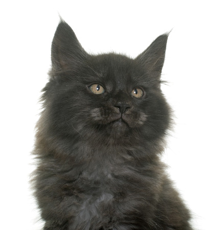 white cats: maine coon kitten in front of white background