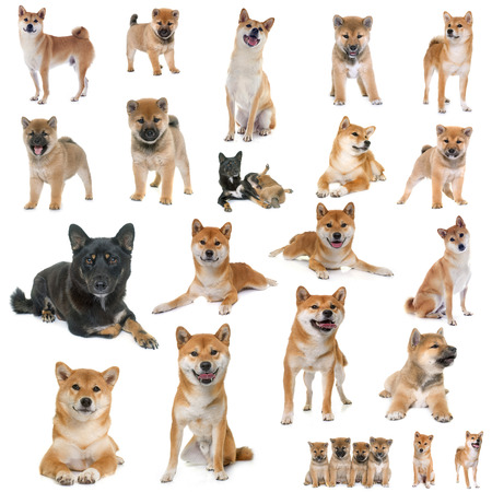 group of shiba inu in front of white background