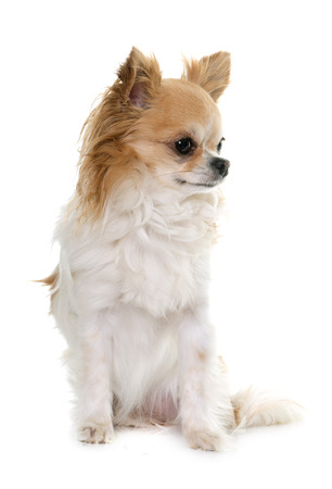 animal hair: brown chihuahua in front of white background