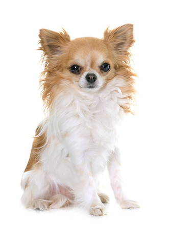 long hair chihuahua: brown chihuahua in front of white background