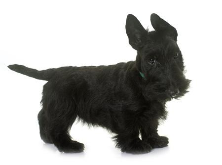 terrier escocés cachorro delante de fondo blanco