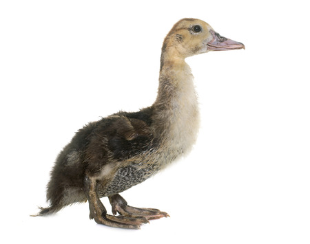 Barbarie duckling in front of white background