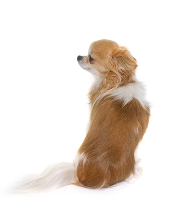 sit on studio: purebred chihuahua in front of white background Stock Photo