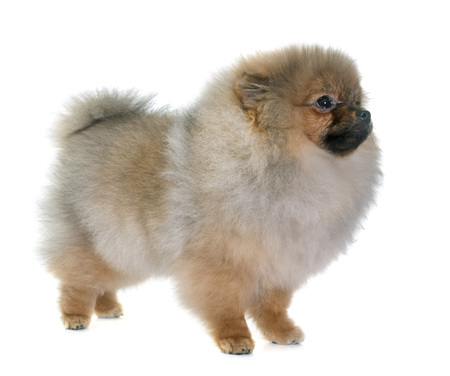 animal fur: puppy pomeranian dog in front of white background Stock Photo