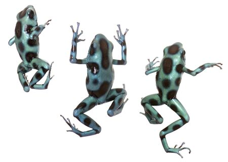 green and black: Dendrobates auratus celeste in front of white background Stock Photo