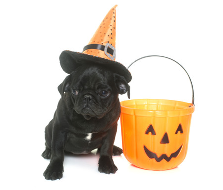 black pug: puppy black pug and halloween in front  of white background Stock Photo