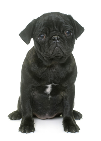 black pug: puppy black pug in front  of white background Stock Photo