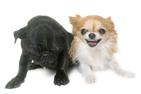 black pug: puppy black pug and chihuahua in front  of white background