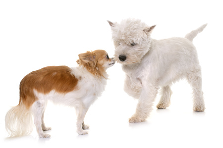 puppy west highland white terrier and chihuahua in studio