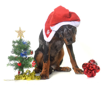 french fancy: young beauceron and christmas in  front of white background