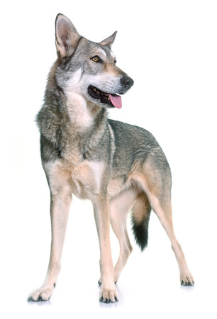 pedigreed: Saarloos wolfdog in front of white background