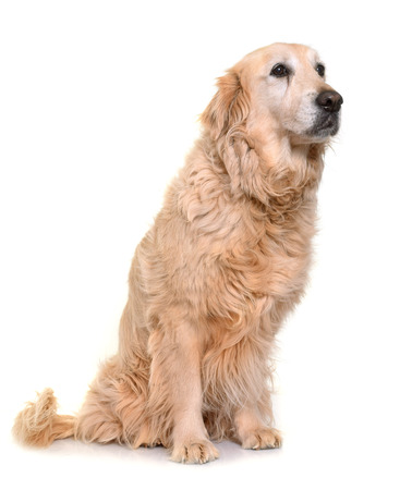 elderly adults: old golden retriever in front of white background