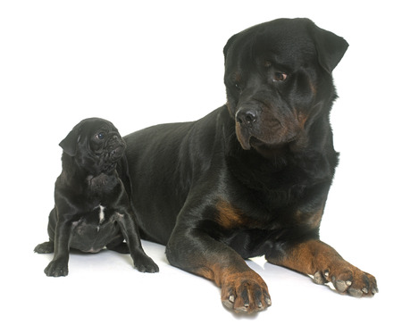 black pug: puppy black pug and rottweiler in front  of white background