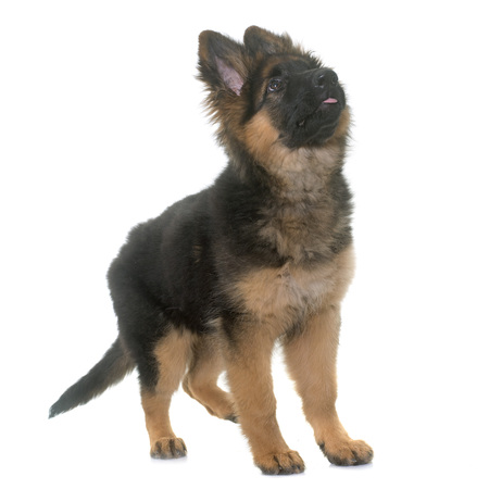 puppy german shepherd in front of white background Stock Photo