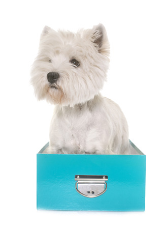 adult west highland white terrier in studio