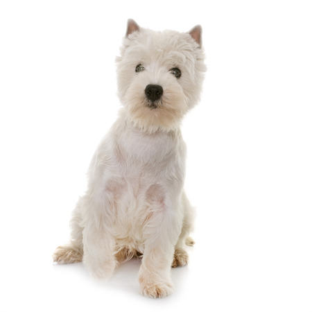 puppy west highland white terrier in studio Stock Photo