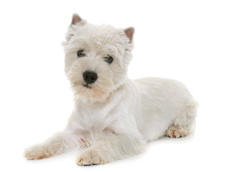 강아지 서쪽 고원 흰색 테리어 스튜디오에서 스톡 콘텐츠